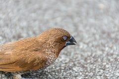 鸟(鳞状breasted Munia)在狂放的自然 免版税图库摄影