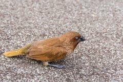 鸟(鳞状breasted Munia)在狂放的自然 免版税库存图片