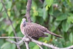鸟(鸠、鸽子或者消歧)在自然 免版税库存图片