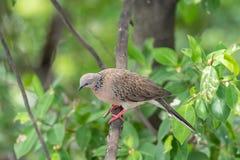 鸟(鸠、鸽子或者消歧)在自然 库存图片