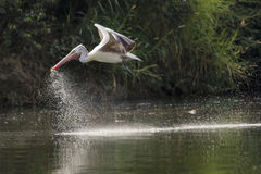 鸟-鹈鹕 库存图片