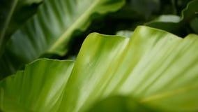 鸟` s巢蕨,铁角蕨属巢 作为自然花卉背景的野生天堂雨林密林植物 抽象纹理 股票录像