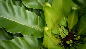 鸟` s巢蕨,铁角蕨属巢 作为自然花卉背景的野生天堂雨林密林植物 抽象纹理 股票视频