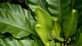 鸟` s巢蕨,铁角蕨属巢 作为自然花卉背景的野生天堂雨林密林植物 抽象纹理 影视素材