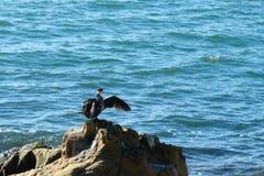 鸟& x28; shag& x29;在岩石 免版税库存照片