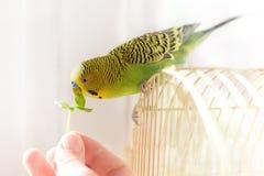 鸟bydgie坐笼子并且从人的手新绿色gr吃 免版税图库摄影