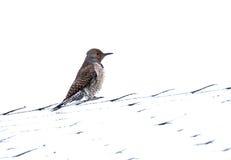 鸟femal忽悠北红色有羽轴的啄木鸟 图库摄影