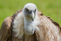 鸟fulvus欺骗lipetsk牺牲者俄国动物园 库存照片