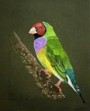鸟gouldian夫人绘画 库存照片