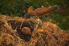 鸟Hamerkop, Scopus umbretta,在与分支的巢鸟大厦巢在票据 美丽的晚上太阳 动物嵌套beh 免版税库存照片