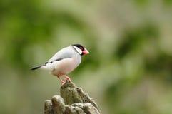 鸟Java麻雀 免版税库存照片