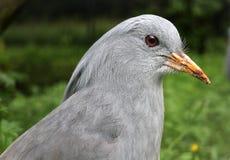 鸟kagu 免版税图库摄影