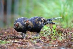 鸟mikado野鸡s唯一的台湾 库存照片