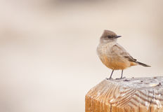 鸟phoebe s说 免版税库存照片