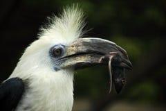 鸟Portratit白加冠了犀鸟, Berenicornis comatus,与在票据的老鼠 图库摄影