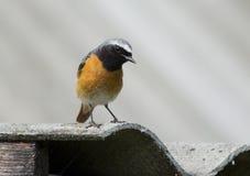 鸟Redstart (拉特 Phoenicurus) 图库摄影