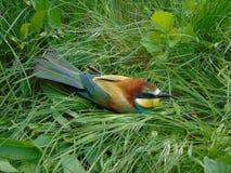 鸟Schur在草坐 免版税库存图片