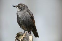 鸟starling的年轻人 图库摄影