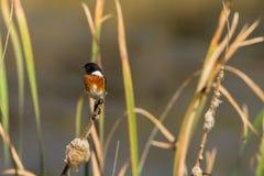 鸟Stonechat沼泽地用茅草盖野生生物 免版税库存照片