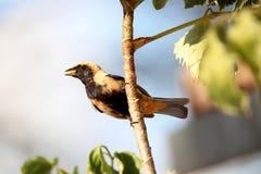 鸟tangara cayana用在额嘴的食物 库存照片