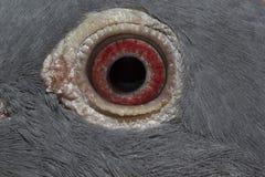 鸠五颜六色眼睛的宏指令 图库摄影