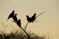 鸠剪影-背景秀丽-非洲野生鸟 库存图片