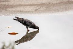 鸠和反射在水中 它是饮用水o 免版税库存图片