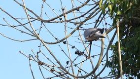 鸠坐在树的分支, 4月,斑尾林鸽 股票录像