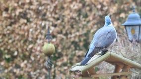 鸠坐鸟舍在冬天 影视素材