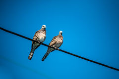 鸠是ture恋人,两只鸟在导线 他们是的夫妇 库存图片