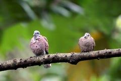 鸠红色斑鸠tranquebarica乌龟 免版税库存图片