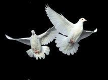 鸠飞行释放白色 免版税图库摄影
