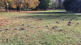 鸠,鸽子吃在公园的草的种子 鸽子美好的群在镇公园 提供 股票录像