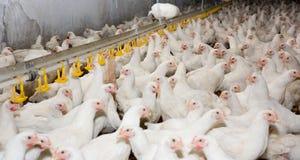 鸡。家禽场 免版税库存照片