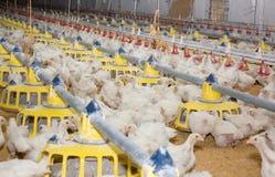 鸡。家禽场 库存图片