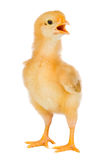 鸡一点黄色 库存照片