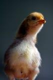 鸡一点 免版税图库摄影