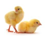 鸡二黄色 免版税库存图片
