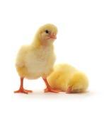 鸡二黄色 免版税图库摄影