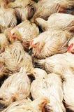 鸡人群 库存图片