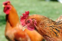 鸡公鸡 免版税库存图片
