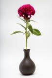 鸡冠花叫作Cockscomb或Terciopelo的Cristata在花瓶 库存照片