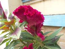 鸡冠花有鸡冠状突起3 库存照片