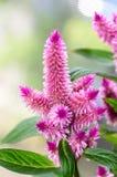 鸡冠花火鸟用羽毛装饰桃红色花,与绿色叶子的灌木, 库存照片