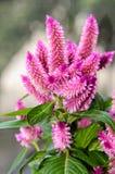鸡冠花火鸟用羽毛装饰桃红色花,与绿色叶子的灌木, 免版税库存图片
