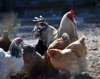 鸡和公鸡小牧群  免版税图库摄影