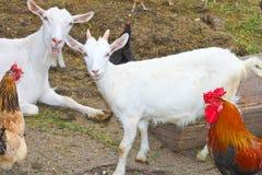 鸡和山羊在农场 免版税库存图片
