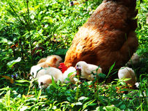鸡和巢母鸡 免版税库存照片