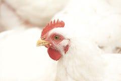 鸡和背景 库存图片