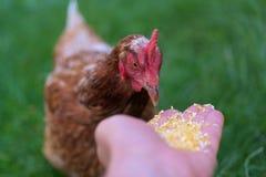鸡和饲料 免版税库存图片